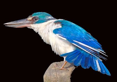 Collared kingfisher todirhamphus chloris cekakak sungai for Easons fish house