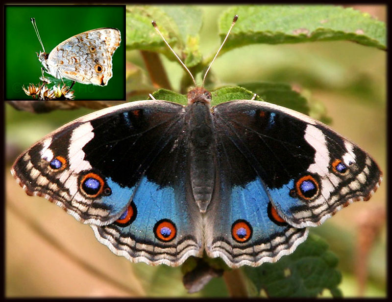 Bali, Butterflies, vlinders, papillons, Blue Pansy , Junonia orithya, Nymphalidae